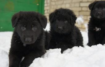 Купить щенка немецкой овчарки с родословной в питомнике у заводчика