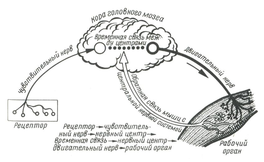 Схема дуги условного рефлекса
